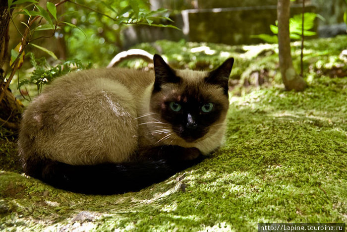 Кошки в Гио-дзи: Тяму...