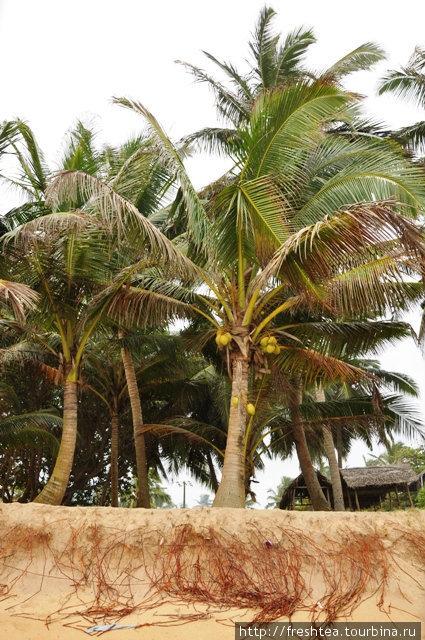 Волны то и дело размывают берег в Хиккадуве, даже пальмам не устоять перед ними!