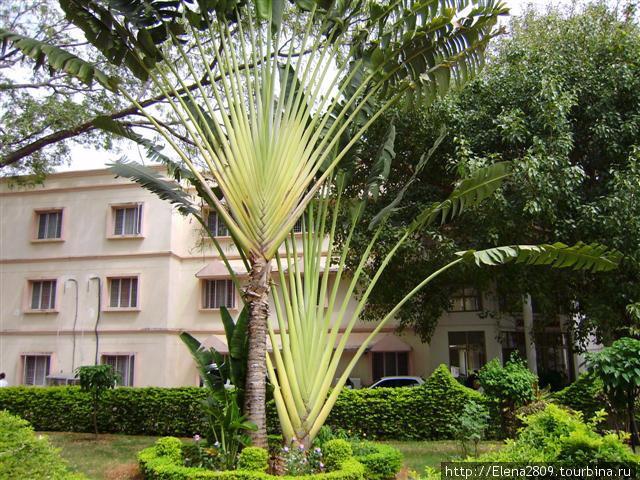 Пальма в Ашраме