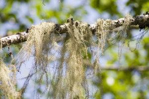 А вот такой мох растёт на ветках