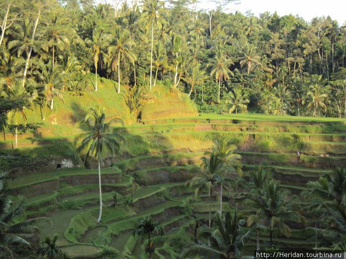 Вот такое рисовое поле.