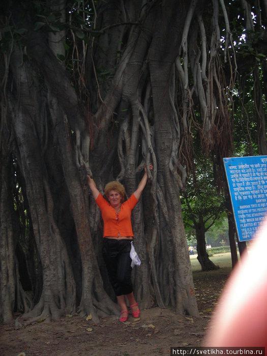 Дерево любви и силы- баньян-
