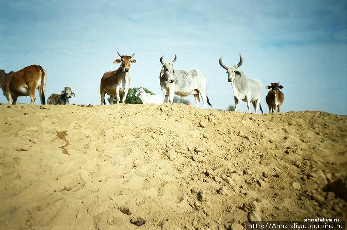 Пустынные коровы