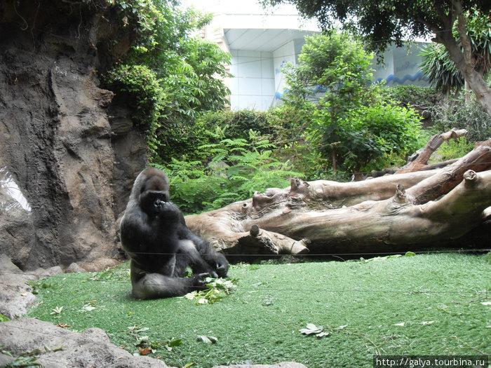 Дальше — семейная ссора горилл... Пуэрто-де-ла-Крус, остров Тенерифе, Испания