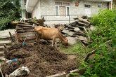 Корова, которая жила рядом с нашим отелем. По ней можно было сверять часы, т.к. она мычала каждые 15 минут