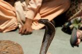 Несчастная змея, которую боба таскает в своем кофре и пугает ею наивных впечатлительных туристов. По правде говоря, зубов у нее нет и опасности она не представляет, а жизнь у нее тяжелая.