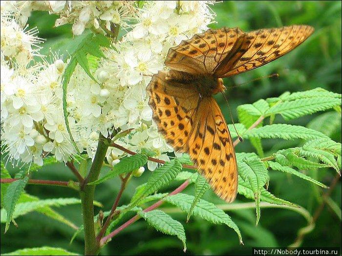 Бабочки здесь непуганные — подпускают очень близко. Жаль только махаона поймать в объектив не удалось =(