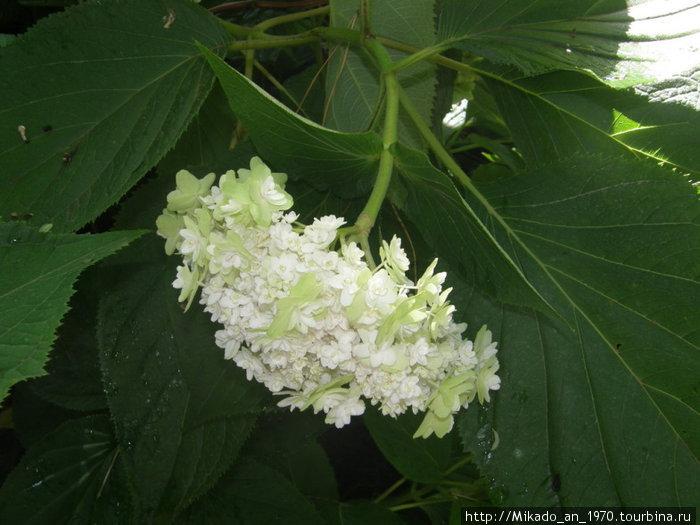 Белое соцветие