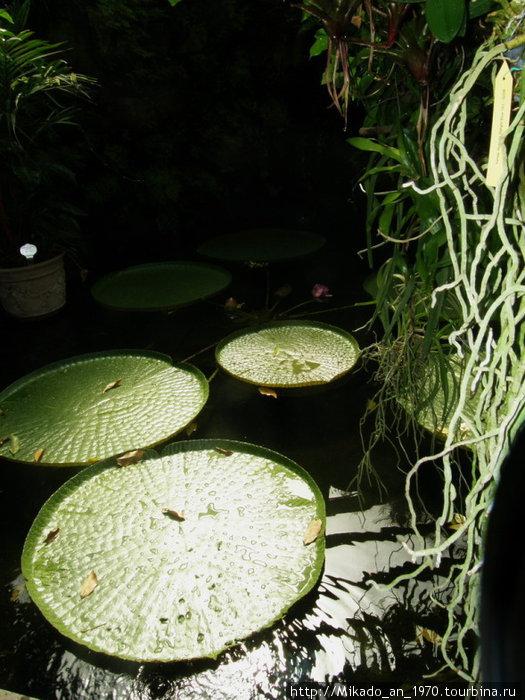 Огромные листья амазоники