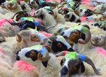 Гламурные козы. Чтоб стада не перемешались, каждый пастух выкрашивает своих коз в свой любимый цвет