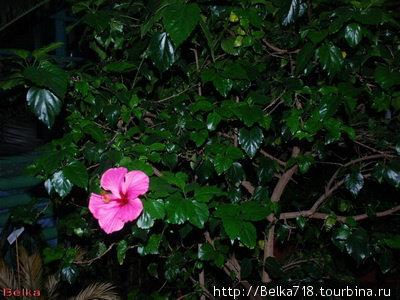 Гибискус в ботаническом саду