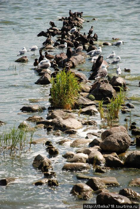 Куршский залив. Чайки, бакланы