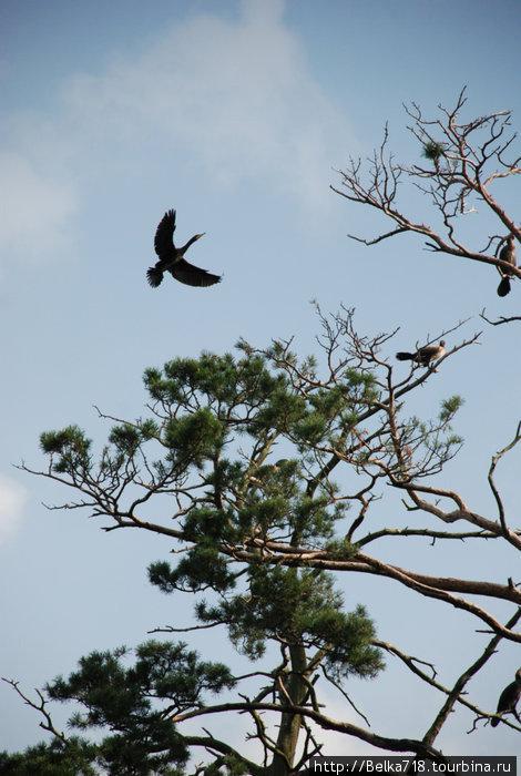Гнездовье бакланов под Юодкранте