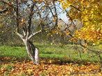 Среди молодых, недавно посаженных деревьев, осталось несколько старых яблонь.