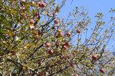 В цене здесь яблоки