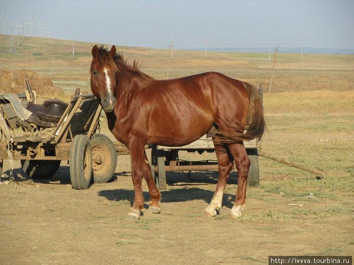 Местный конь (хотел покрыть ГАК, проказник!)