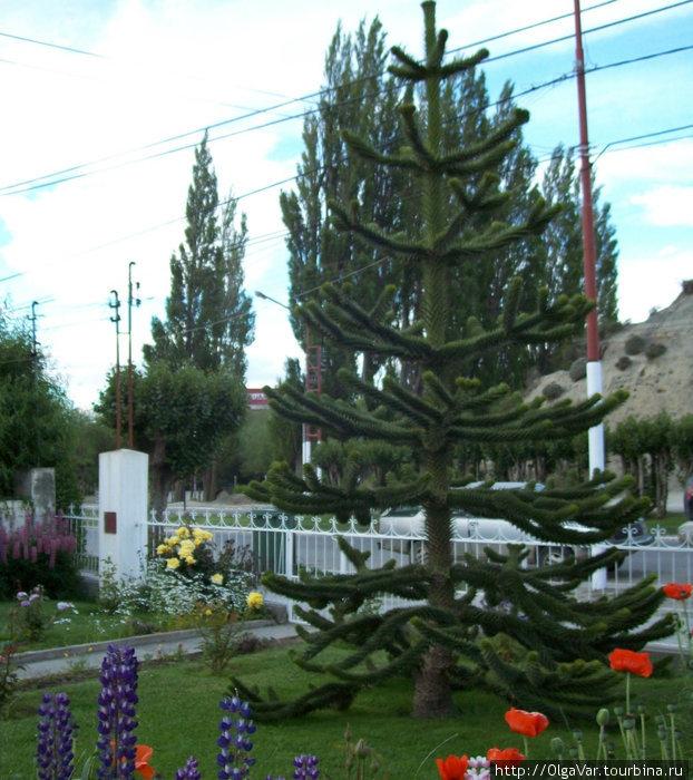 Араукария — аналог елки