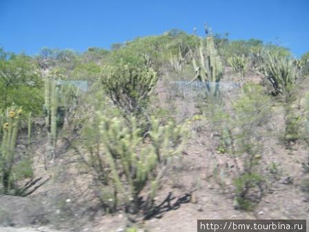 Лес из кактусов и агавы.