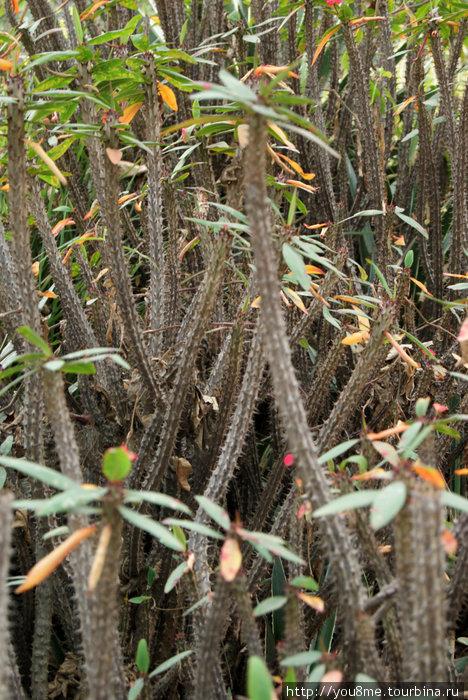 кактусы и колючки