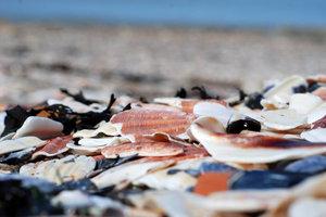 В этом месте пляж покрыт ковром из ракушек и водорослей.