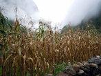 Кукурузное поле осенью