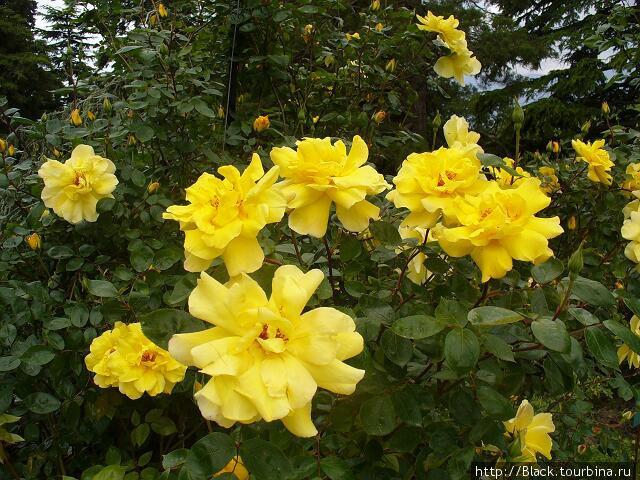 Розы из розария