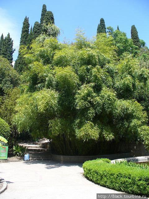 Бамбуки