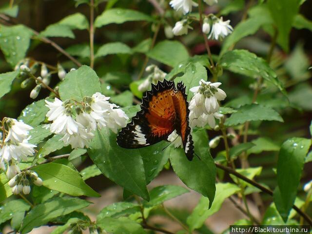 В саду бабочек. Красная узорчатокрылка