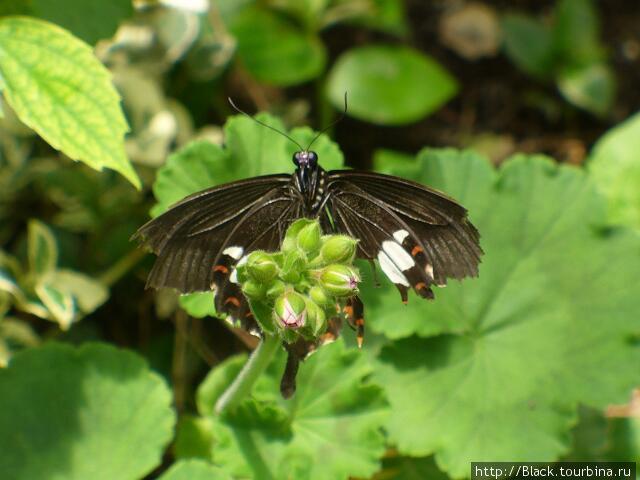 В саду бабочек. Обыкновенный мормон