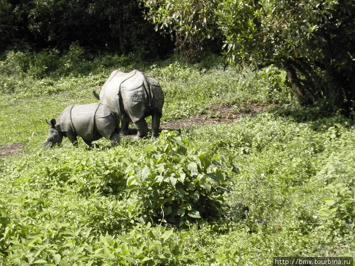 Носороги.