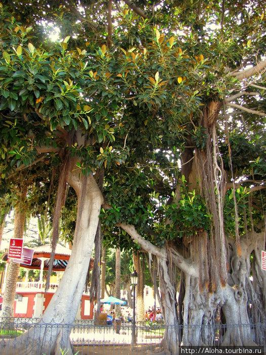 Шагающий фикус. По-научному Ficus macrophylla.