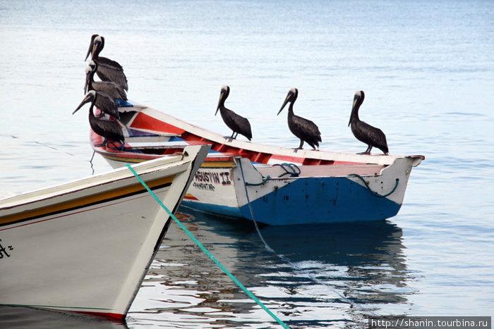 Живые пеликаны