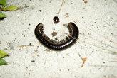 червячки — многоножки