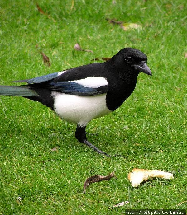 Новозеландские белобокие вороны. Они так и называются —