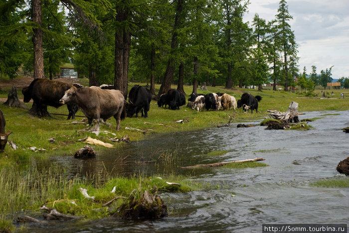 Коровы, яки и хайнаки (гибриды). Теоретически эти гибриды стерильны, но их почему-то в Монголии крайне много.