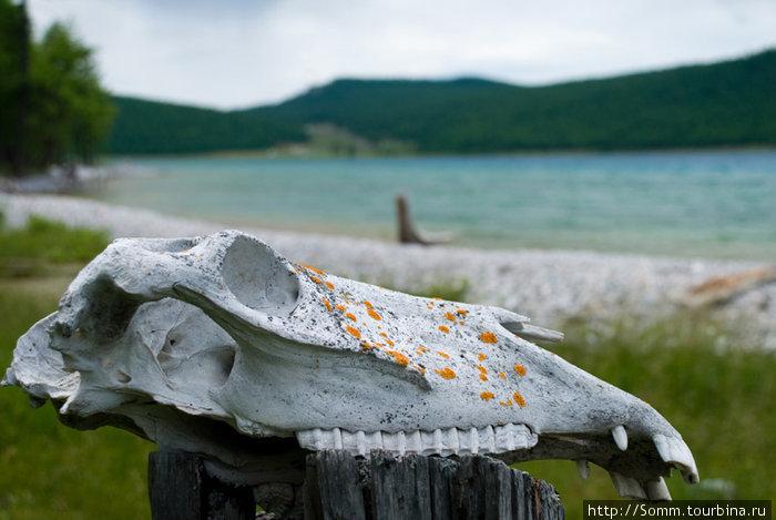 К шаманству и прочим ритуалам этот череп не имеет ни малейшего отношения. Просто он там лежал на берегу... Этого добра в Монголии полно.