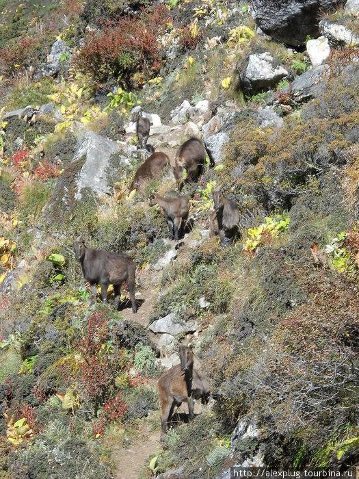 Дикие козлы на тропе в Фериче