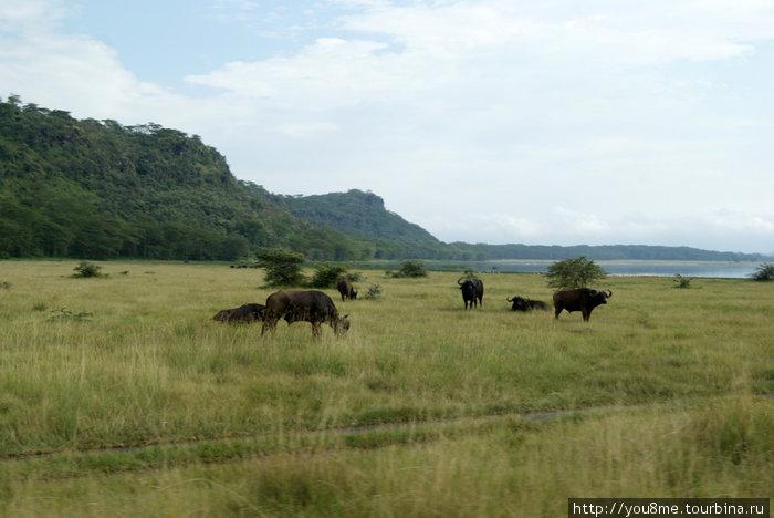 черные африканские буйволы