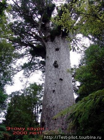 Каури Танэ Махута («Бог леса» или «Властелин леса») высотой 51,5 метров и обхватом ствола 13,8 метров, возраст которого оценивается примерно в 1500—2500 лет  и считается самым старым деревом в мире.