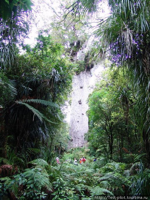 Обратите внимание на что-то мелкое  внизу — это люди. Чтобы обхватить это дерево, потребуется восемь рослых мужиков!