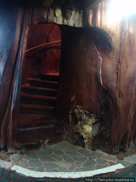Винтовая лестница внутри ствола каури, на которой запросто могут разминуться два человека