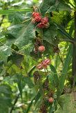 невиданные растения (полосатые арбузики :)