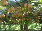 А вот так растет знаменитый киви-фрукт.