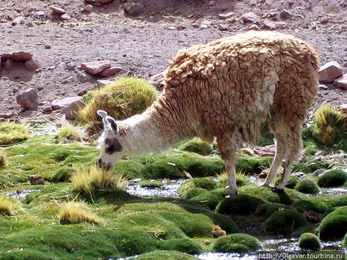 Тоже любит траву колючую, как верблюд Сан-Педро-де-Атакама, Чили
