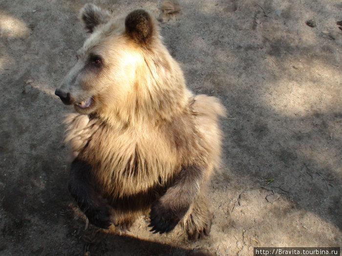 Медведица готовится поймать кусочек яблочка.