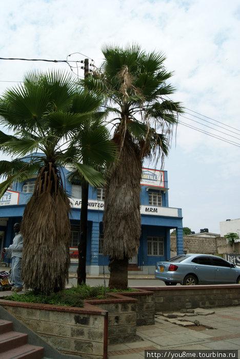 мохнатые пальмы