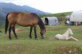 Когда появляется жеребец лошадь даёт молоко, из которого делают в Средней Азии вкусный напиток- кумыс