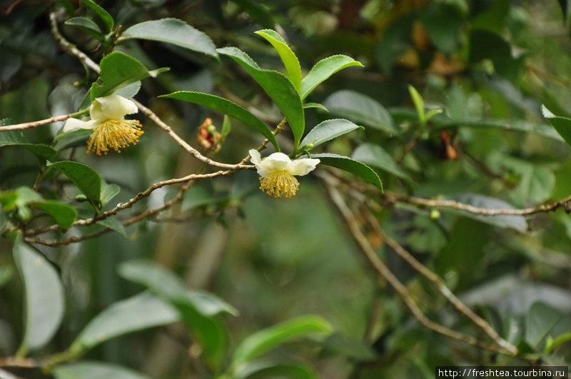 Вот так цветет чайный куст (если не стричь его и дать разрастись). Он — родственник камелии.