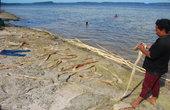 Эту кору сдирают с палок, которые предварительно помещаются в море