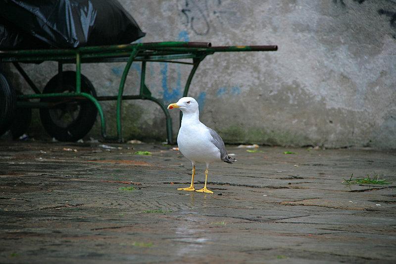 Чайки в Венеции выполняю роль ворон: гоняют голубей и жрут мусор